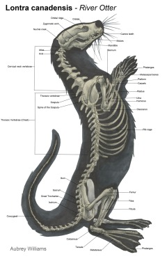 otter skeleton.jpg